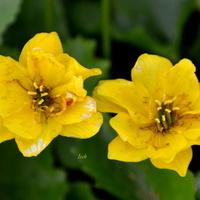 Kwiaty bagienne z bliska.
