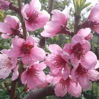 Kwitnąca Brzoskwini