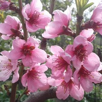 Kwitnąca brzoskwinia .