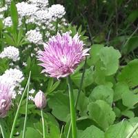 Kwitnący szczypiorek też........