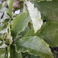 Magnoliowe liście zadowolone zdeszczu.