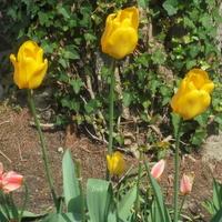 Żółte tulipany smagane mocno wiatrem
