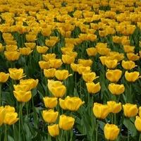Żółte tulipany w plenerze