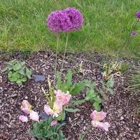 Ostatki Tulipanów W