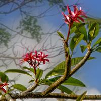 Plumeria czerwona
