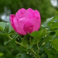 Róża i jej ozdobne liście