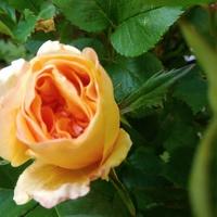 *** Róża ***
