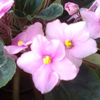 Różowy fiołeczek