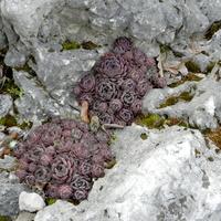 Rojniki na skałach