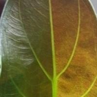 Tajemniczy liść