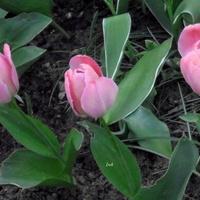 Trojaczki kwitnące