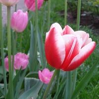 Tulipan o nazwie