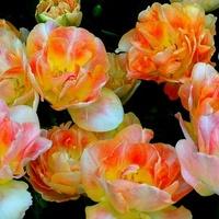 Tulipan pełny wielokolorowy