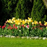Tulipany, już przekwitają.