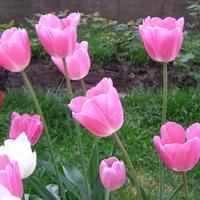 Tulipany o nazwie