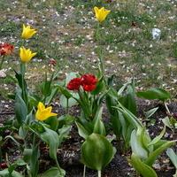 Tulipany różne