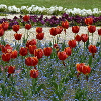 Tulipany w ciemnym kolorze