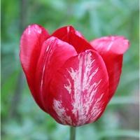 Wiekowy tulipan...