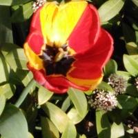 Witajcie, tulipan,...