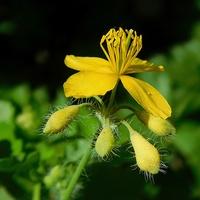 złotokwiat .......