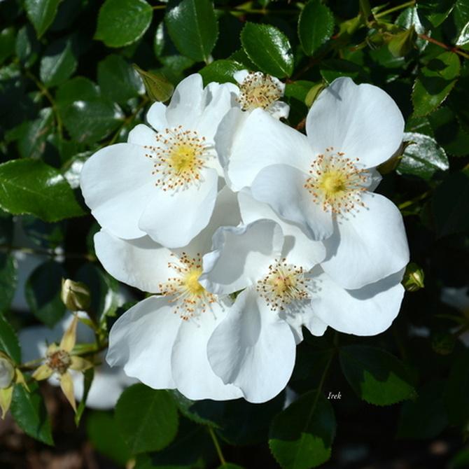 białe różyczki.