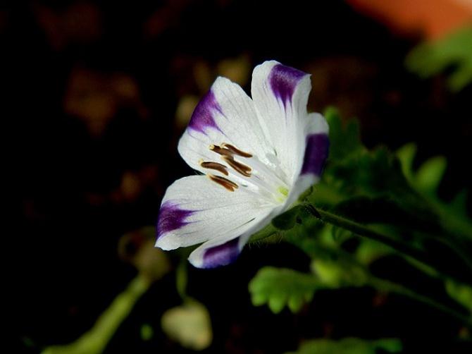 Delikatny kwiatek, delikatna nazwa;)