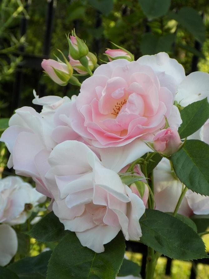 Dzisiaj prawdziwe różowe?
