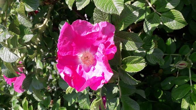 I jeszcze druga róża.