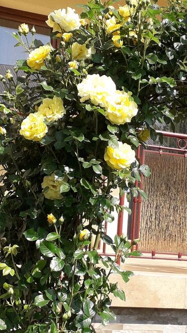 I jeszcze więcej róż .