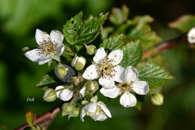 kwitnie jeżyna w lesie