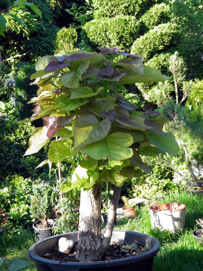 mega bonsai
