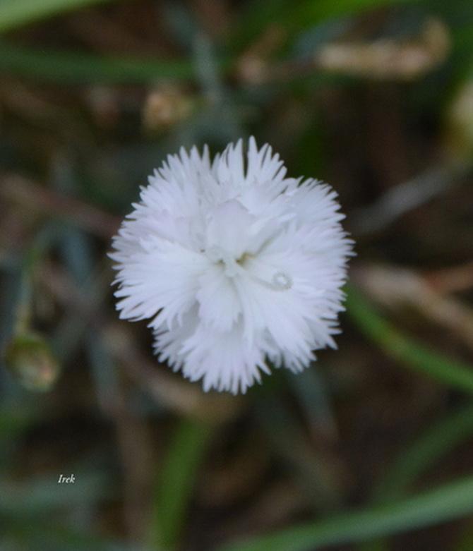 Miniaturowy goździk biały