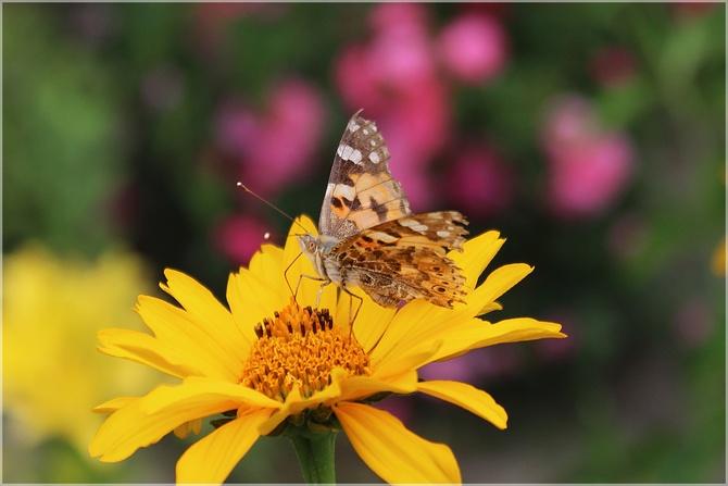 Motylek na słoneczku...