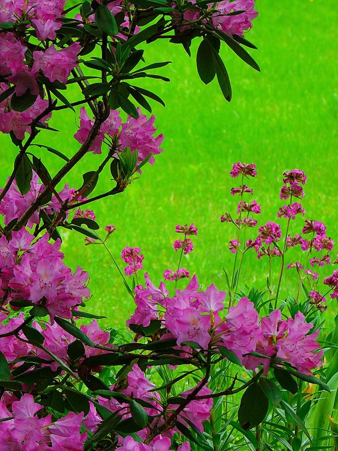na różowo w ogrodzie ...