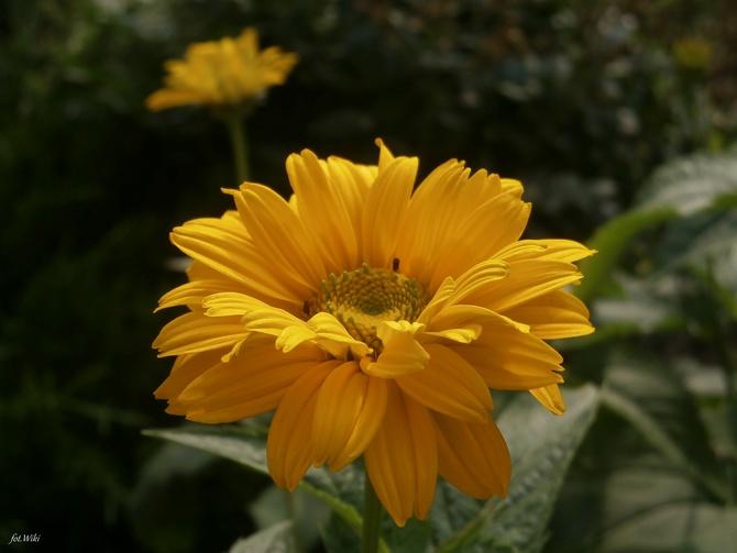 Ogrodowe słoneczko