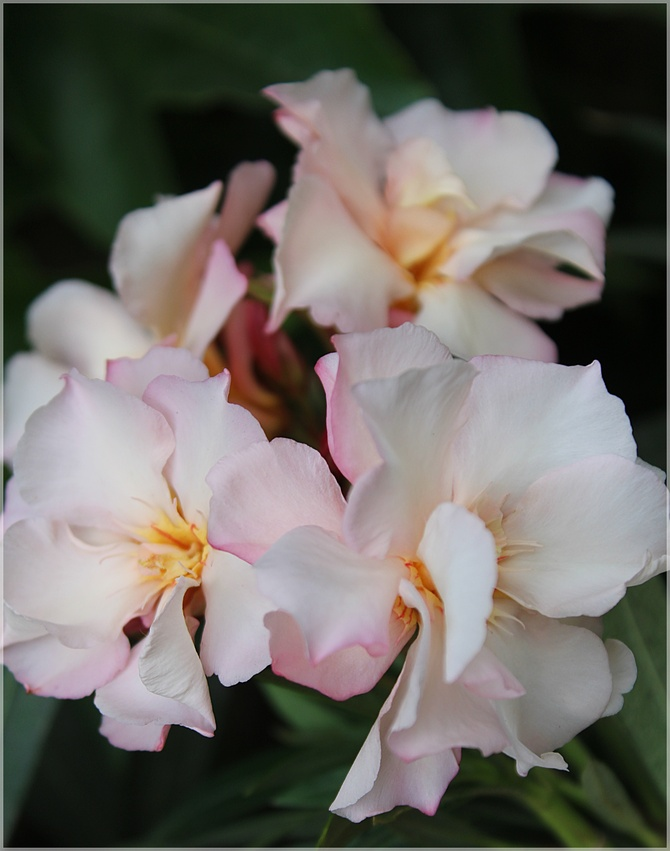 Oleander łososiowy...