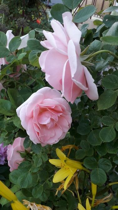 Róża jak należy różowa .