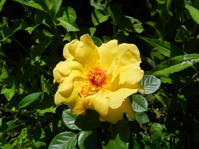Róża w kolorze słonecznym