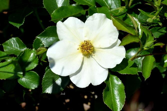 różyczka biała i jej ozdobne liście.