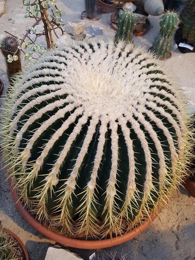 taki duży kaktus....
