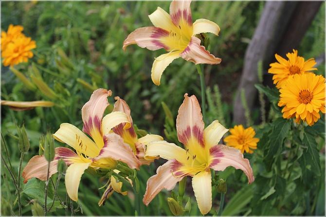 Wielobarwne liliowce...