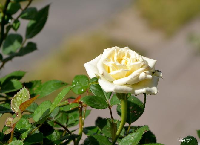 zakwitła miniaturkowa różyczka