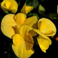 begonia - fragment