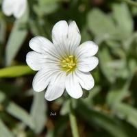 biały kwiat rogownicy