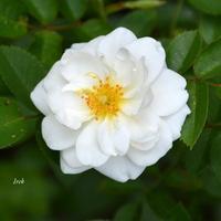 młoda różyczka biała