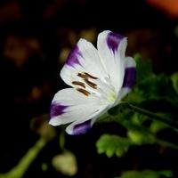 Delikatny Kwiatek, D