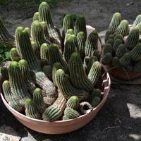 Dla miłośników kaktusów