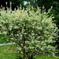 dziwne białe drzewo