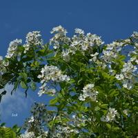 gałązka białych róż