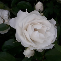 I Biała Róża.....